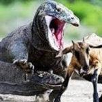 コモドドラゴン(オオトカゲ)の毒性や生息地。生態が人喰い?天敵も